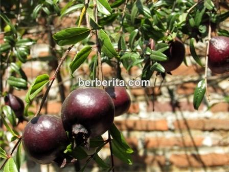 gambar buah delima ungu