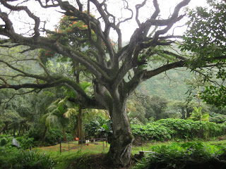 The most interesting tree in Waipi'o Valley