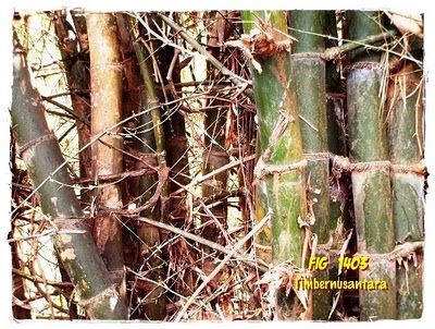 Image Ungu Wulung Khas 4 Bambu Oren Duri Ori Berduri 6 Apus Download