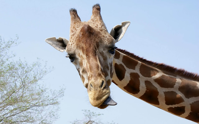Animal photo with a portrait picture of a giraffe