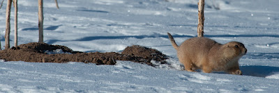 Prairie Dog, Cherry Creek State Park