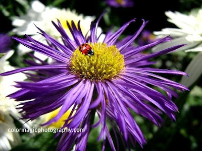 Purple aster with ladybug
