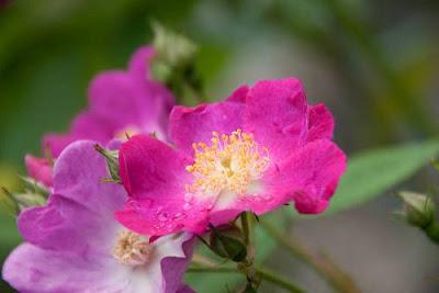 Rosa Pendulina Flowers