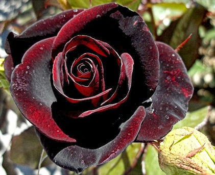 black+red+rose.jpg