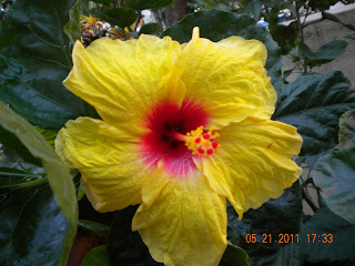 Anthers and Filaments of the yellow huge hibiscus