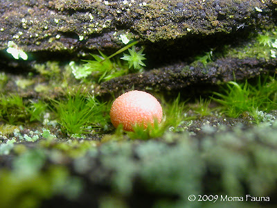 Lycogala epidendrum, Wolf's Milk Slime