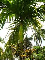 pohon pinang di indonesia