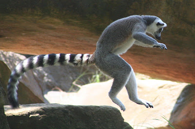 Ringtail Lemur Ubuntu 13.04