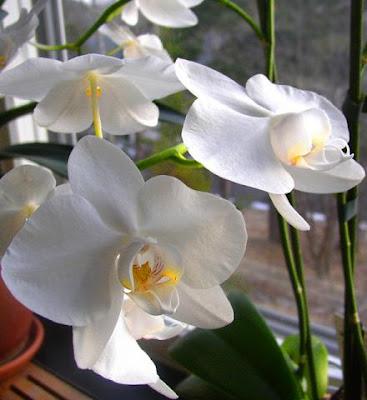 El jardinero plantas y flores c mo cuidar las orqu deas - Como cuidar una orquidea en casa ...
