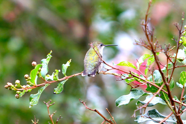 Ruby-throated Hummingbird Perched on a Crape Myrtle Branch