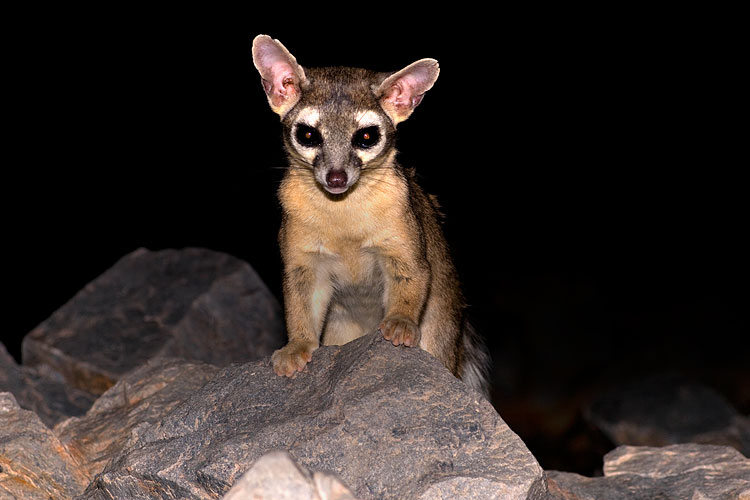 Picture Of A Ringtail Cat