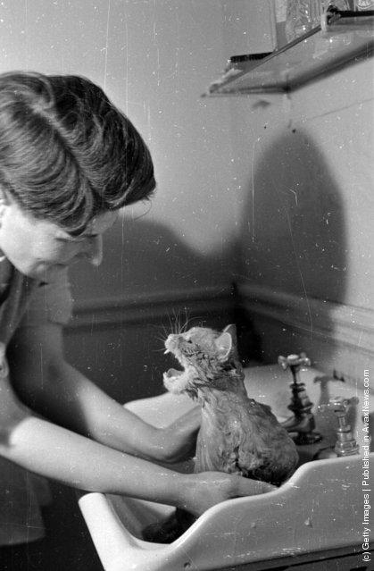 Женщина моет свою домашнюю кошку. (21-ого сентября 1946 г.)