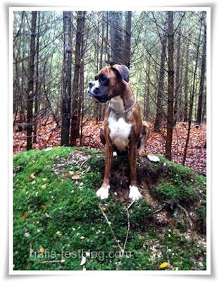 Boxer Amy auf einem Hügel im Wald
