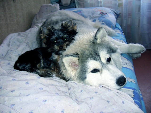 Siberian husky and Yorkshire terrier