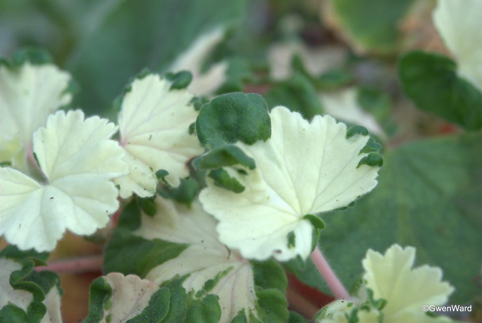 Perfect Pelargoniums Freak Of Nature And Garden Flowers