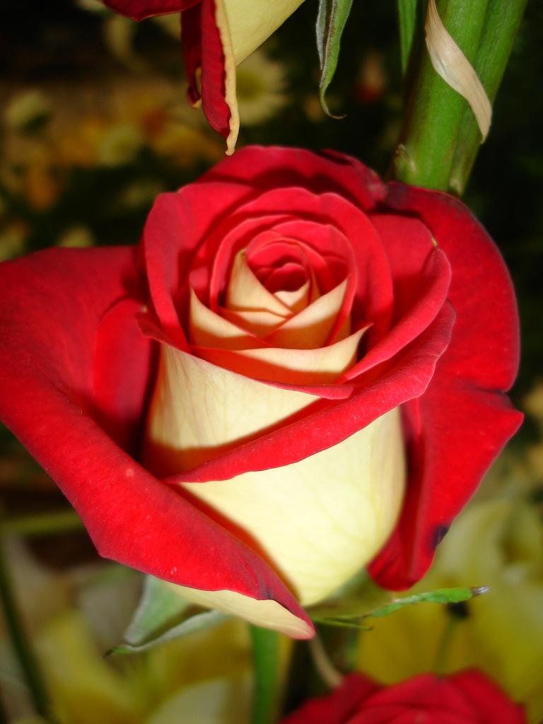 cultivo rosas jardim:rosa osiria vermelho claro e amarelo rosa osiria vermelho escuro e