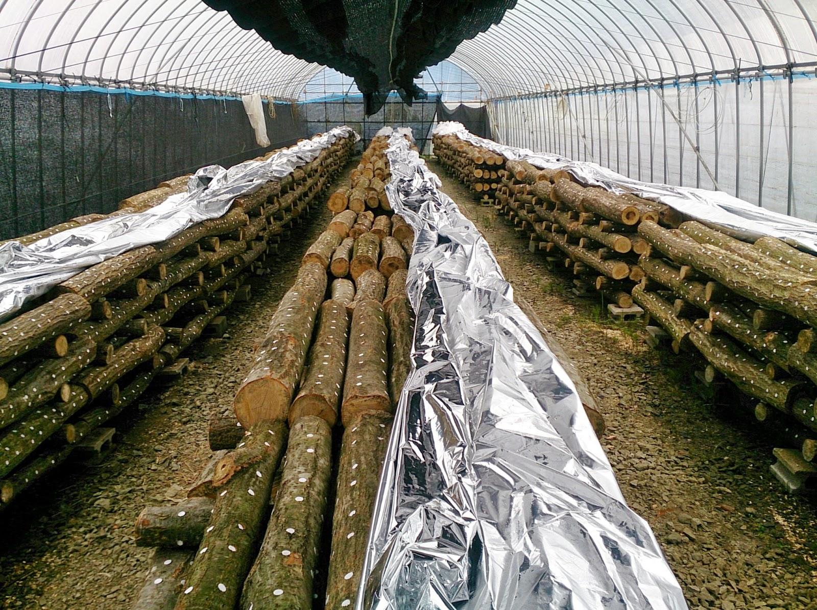 原木しいたけ栽培 ホダ化