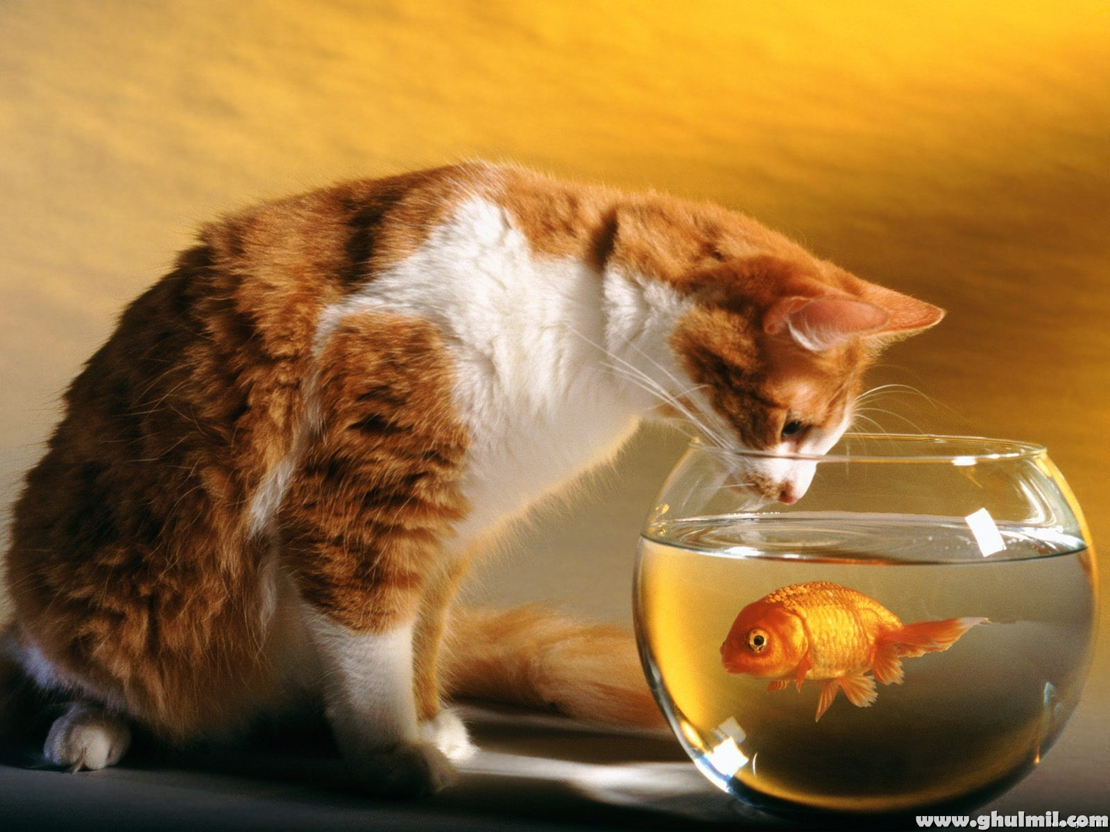 http://3.bp.blogspot.com/-BvjzLx9rWD8/TbC4x2pe_hI/AAAAAAAADNE/s8yjgxmU9Rc/s1600/cat-trying-to-catch-fish-in-a-jar-hd-wallpaper.jpg