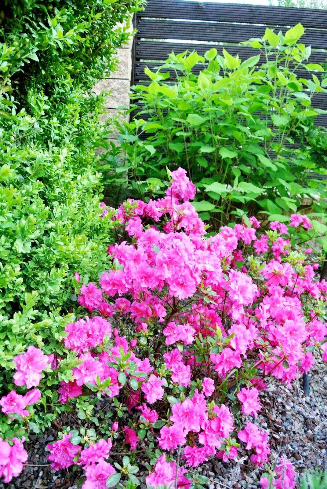 różowa azalia,azalie w ogrodzie,jakie azalie najlepsze,szkółka azalie,piękne azalie,różowe kwiatki w ogródku,ogródek przydomowy