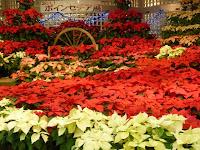 京都府立植物園の第20回ポインセチア展