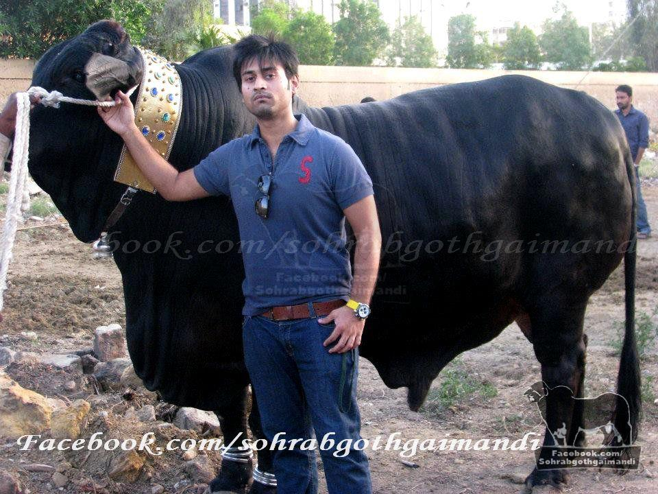 New - Cow Mandi 2013 Haghway Kacahi | bunda-daffa.com
