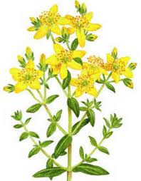 Miracle Herb or Noxious Weed? – 2/12/12