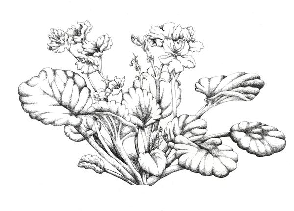 Line Drawing Violet : African violet flower drawing pixshark images