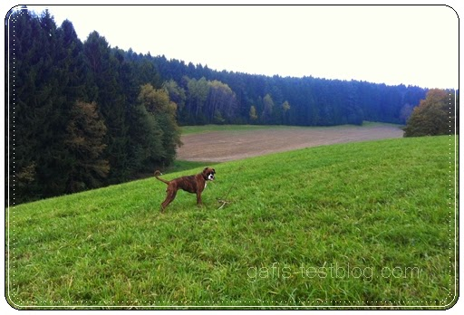 Spaziergang mit Boxer Amy