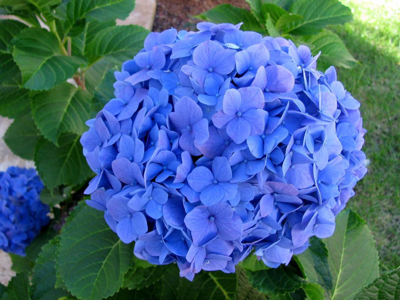 Hortência hydrangea flower