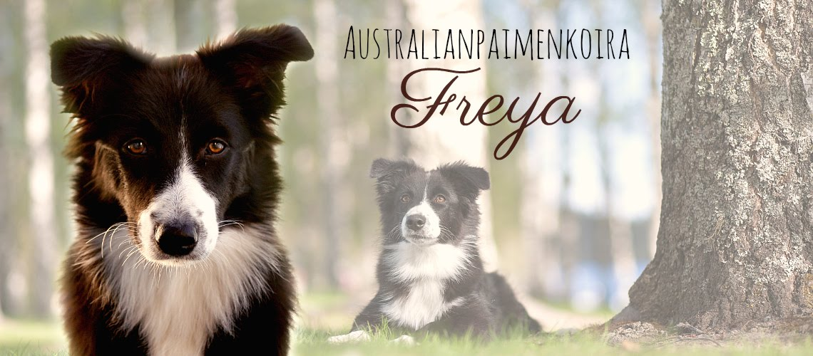 Australianpaimenkoira Freya