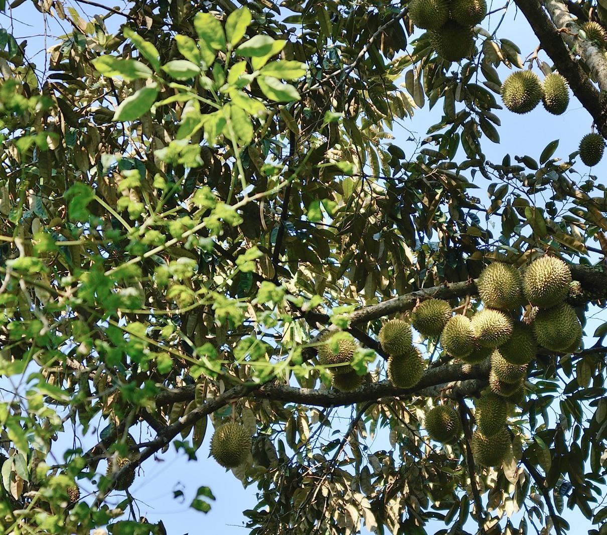 Durian season (Ubin)