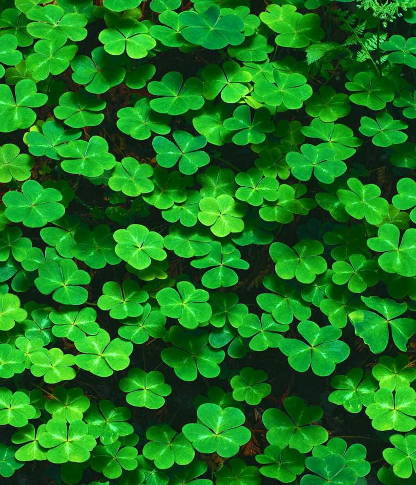 St. Patty's Day shamrocks - Celebrate St. Patrick's Day in Lancaster County