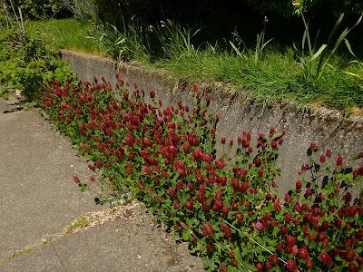 Trifolium incarnatum (Crimson Clover)