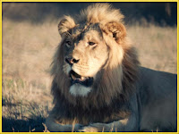 Lion Panthera leo images