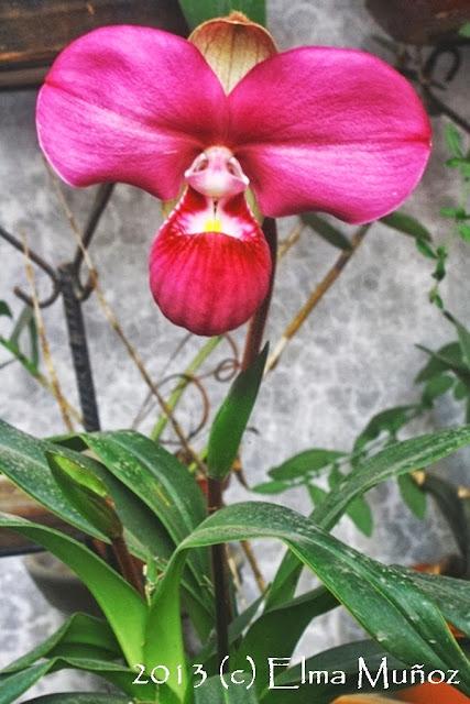 Phragmipedium peruvianum (syn kovachii) Planta
