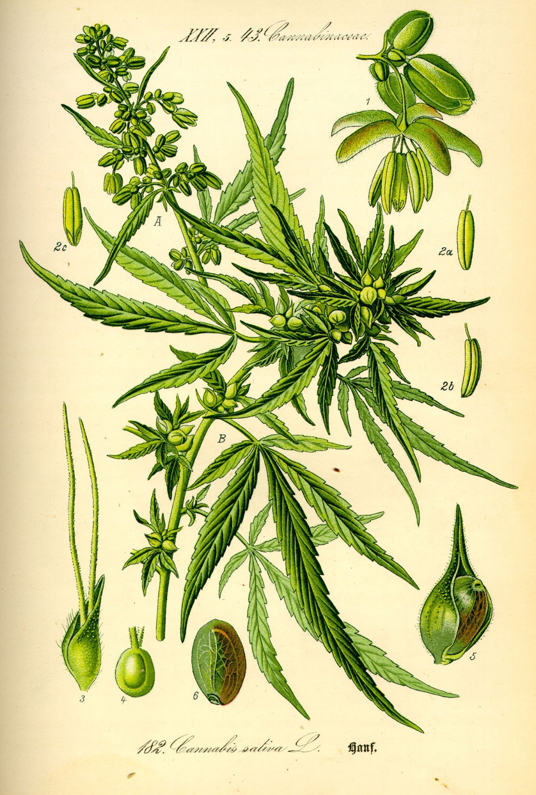 Illustration_Cannabis_sativa0.jpg