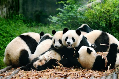 giant pandas at chengdu china