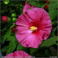 Plant Gallery Encyklopedia Roślin Hibiscus Summerific Jazzberry Jam Ketmia Hibiskus