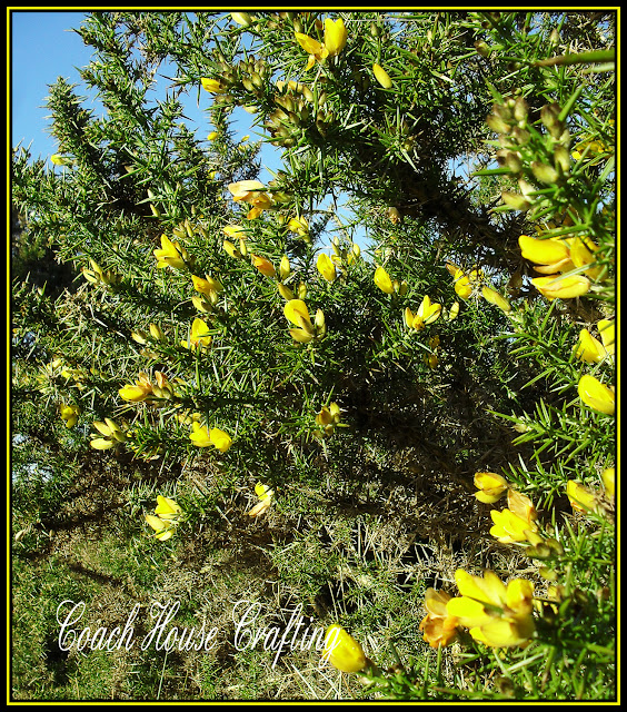Gorse bush, whins, Yellow flower, Gorse
