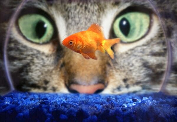 Funny animals of the week - 28 March 2014 (40 pics), cat watching goldfish