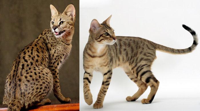 spesso Gatti: le razze ibride - Pets Life CQ94
