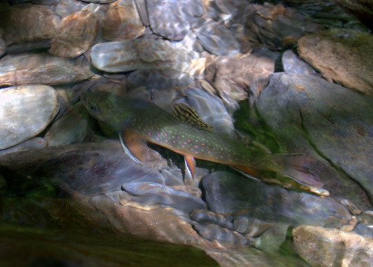 A beautiful brook trout rests after the release