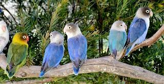 Beternak Lovebird Sendiri