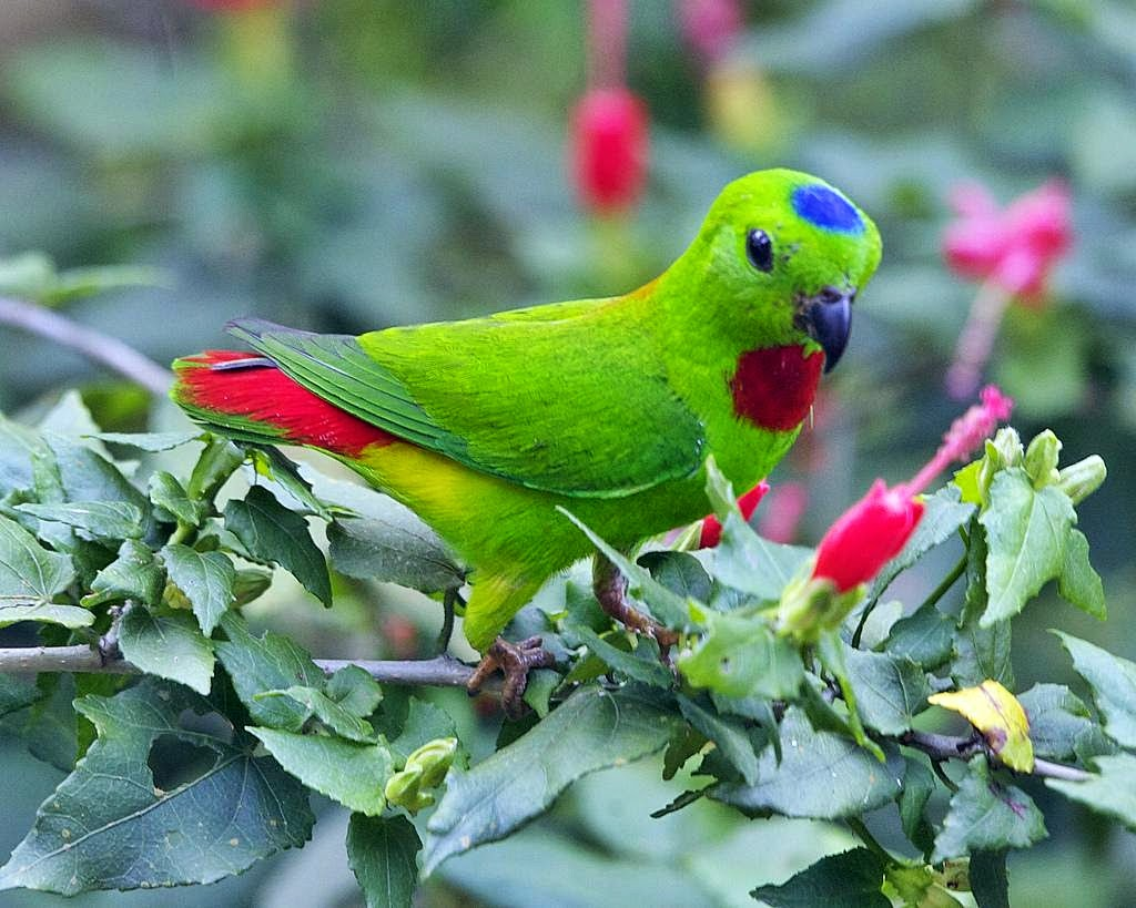 Suara Serindit Gacor Untuk Masteran Burung Kicau