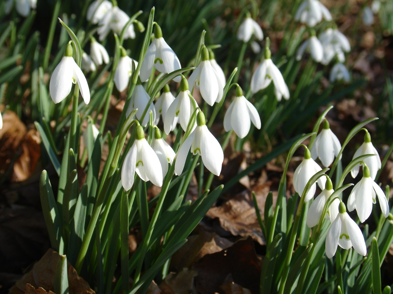 Garden Thinnings Snowdrops
