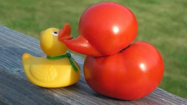 الطماطم على شكل بطه