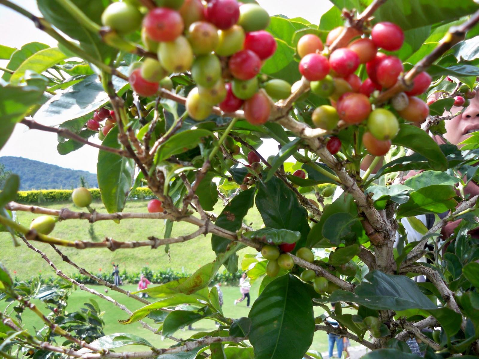 Pohon kopi