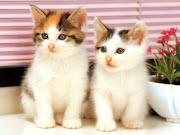 Little Cat Wallpaper. cat animal wallpaper kucing little cute angora persian . cat