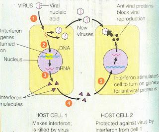Interferon (IFN) được Issaacs & Lindenmann (1957) phát hiện khi tiêm vi rút cúm vô họat vào màng niệu mô của phôi gà, là một nhóm các protein được sản xuất bởi các tế bào của hệ miễn dịch ở hầu hết các động vật