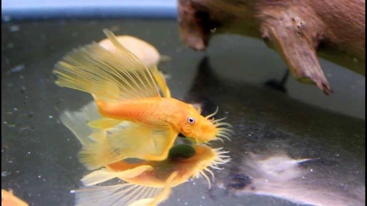 cá pleco longfin vàng trong bể thủy sinh